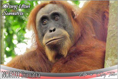 bukit lawang orangutan sumatra