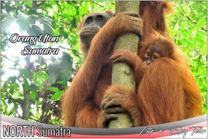 Bukit Lawang Sumatran Orangutan with her cub