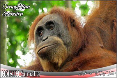 orangutan bukit lawang sumatra