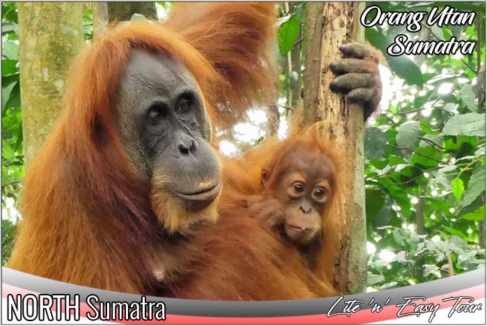 orangutan sumatra indonesia