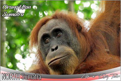 orangutan tours sumatra indonesia