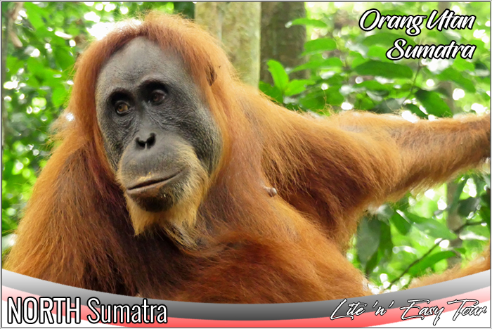 sumatran orangutan indonesia