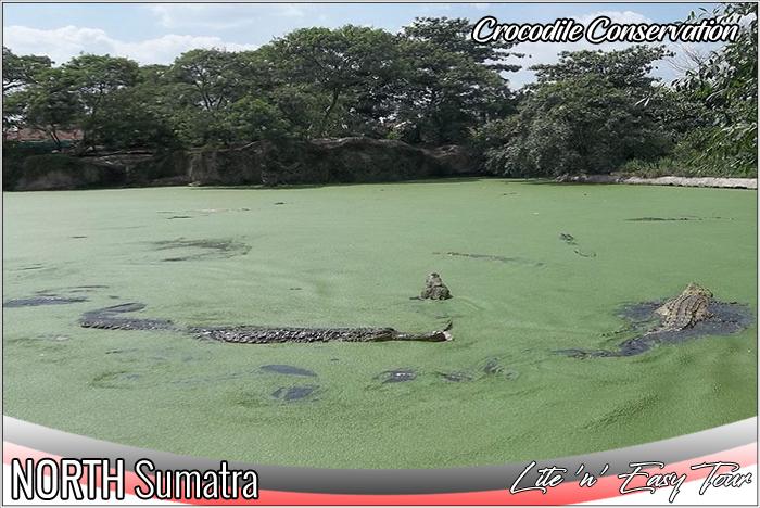 Crocodile Conservation Asam Kumbang Medan